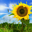 Sunflower in green field — Stock Photo