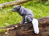 Polar fox — Stock Photo