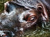 河马 — 图库照片