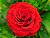 Red rose — Stock Photo