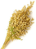 Bunch of oat — Stock Photo