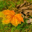 Maple leaf in grass — Stok fotoğraf
