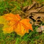akçaağaç yaprağı çim — Stok fotoğraf