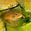 Toad in the water — Stock Photo