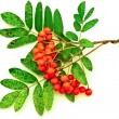 Ashberry - Foto Stock
