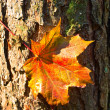 图库照片: Maple red leaf at the bark