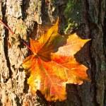 kırmızı akçaağaç yaprağı, kabuk — Stok fotoğraf