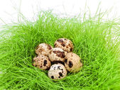 Quail eggs — Stock Photo