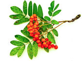 Ashberry — Stock Photo
