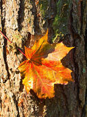Maple red leaf at the bark — Stock Photo