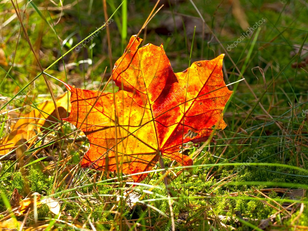 Autumn red maple leaf at the green grass — Stock Photo #2675578