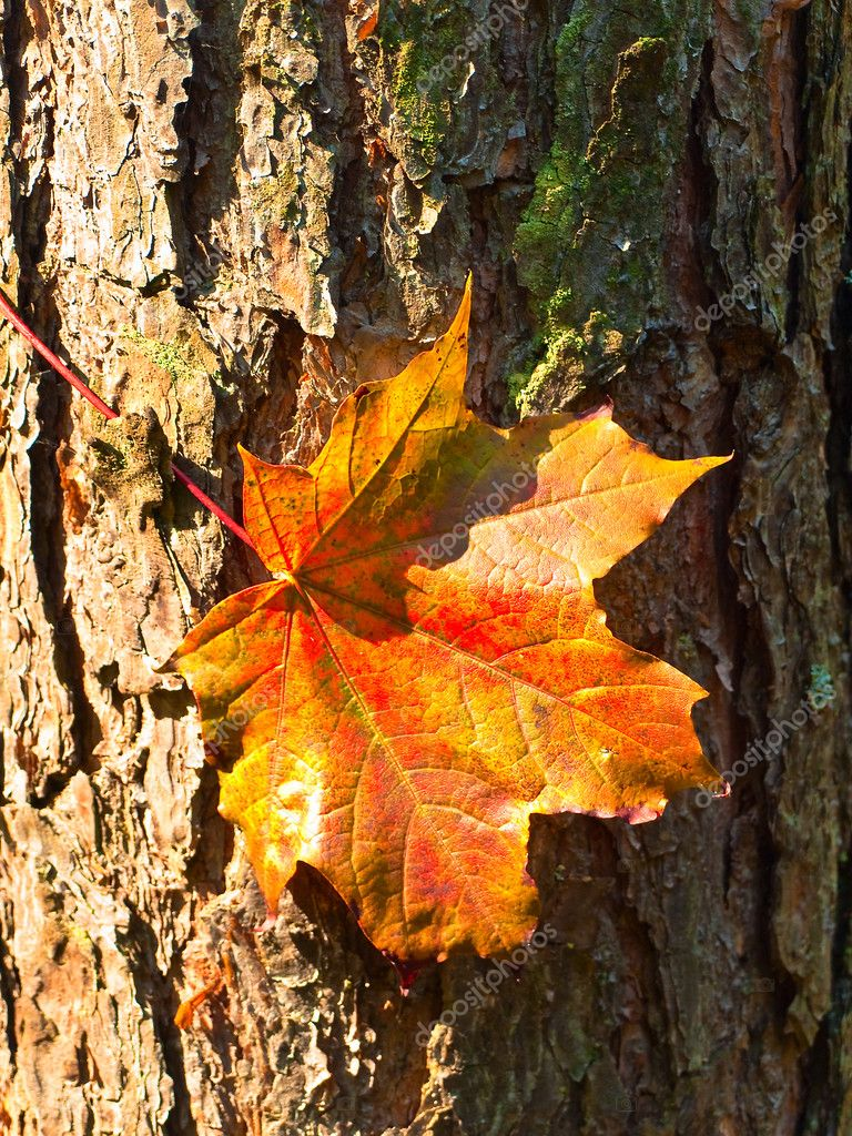Maple red leaf at the bark in the forest — Stock Photo #2675852