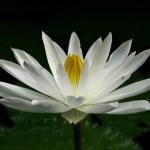 Lotus — Stock Photo #2576300