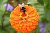 Bee on the flowe — Stock Photo
