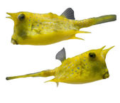 YellowTropical fishes — Stock Photo