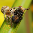 Jumping spider feeding on fly — Stock Photo
