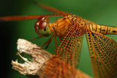 Portrait of a dragonfly — Stock Photo