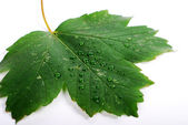 Leaf with drop — Stock Photo