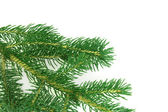 Branch of pine isolated — Stock Photo