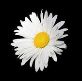 Isolated white flower on black — Stock Photo