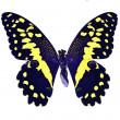 Butterfly isolated — Stock Photo #1501895