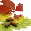 Stock Photo: Still-life acorn over autumn leafs