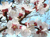 Cherry, blossom — Stock Photo