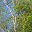 Stock Photo: April Blossoming Birch