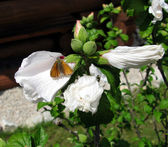 Orange butterfly on a white flower — Stock Photo