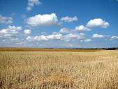 Oblique Wheat In The Field — Stock Photo