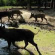 Stock Photo: Wild pigs