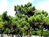 Fir and coniferous trees — Stock Photo