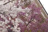 Bicolor Sakura — Stock Photo