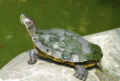 Turtle on the stone — Stock Photo