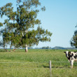 Cow on the green field — Stock Photo