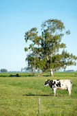 Cow the green field — Stock Photo