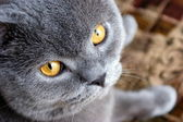 Bonya the cat — Stock Photo