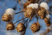 Yellow bur with snow — Stock Photo