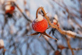 Wild red rose hip — Stock Photo