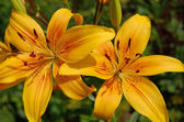 Two big yellow lily — Stock Photo