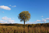 Lonely tree in the field, on the fall — Stock Photo