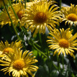 Foto Stock: Yellow flowers