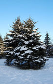 Fir-trees in snow — Stock Photo