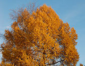 Yellow crone of a tree — Stock Photo