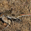 Stock Photo: Roadrunner Fluff