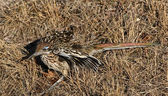 Roadrunner Fluff — Stock Photo