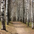 Path in a birchwood — Stock Photo