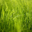 Young, juicy, silky grass. - Stock Photo