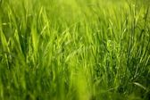 Young, juicy, silky grass. — Stock Photo