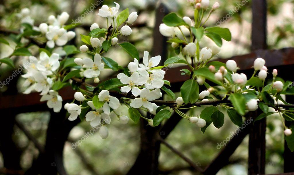 开花苹果树的分支